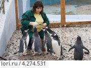 Купить «Кормление папуанских пингвинов в Красноярском зоопарке Роев ручей», эксклюзивное фото № 4274531, снято 4 октября 2012 г. (c) Шичкина Антонина / Фотобанк Лори