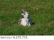 Купить «Домашняя коза (лат. Capra aegagrus hircus)», эксклюзивное фото № 4275715, снято 13 июня 2009 г. (c) lana1501 / Фотобанк Лори