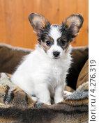 Купить «Портрет щенка папильона», фото № 4276319, снято 10 февраля 2013 г. (c) Сергей Лаврентьев / Фотобанк Лори