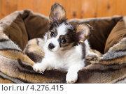 Купить «Щенок в лежанке для собак», фото № 4276415, снято 10 февраля 2013 г. (c) Сергей Лаврентьев / Фотобанк Лори