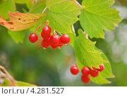 Купить «Ягоды калины (Viburnum) после дождя», эксклюзивное фото № 4281527, снято 17 августа 2012 г. (c) Алёшина Оксана / Фотобанк Лори