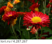 Хризантемы Никитского Ботанического сада ( Крым) Стоковое фото, фотограф Елена Есаян / Фотобанк Лори