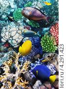 Купить «Кораллы и рыбы в Красном море. Египет, Африка.», фото № 4291423, снято 8 сентября 2012 г. (c) Vitas / Фотобанк Лори