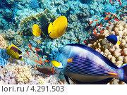 Купить «Рыбы среди коралловых рифов в Красном море», фото № 4291503, снято 6 сентября 2012 г. (c) Vitas / Фотобанк Лори