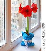 Купить «Гиппеаструм на окне», фото № 4295899, снято 20 декабря 2012 г. (c) Олеся Сарычева / Фотобанк Лори