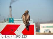 Кречет в промышленной зоне. Стоковое фото, фотограф Sergey  Kalabin / Фотобанк Лори