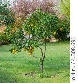 Мандариновое дерево с плодами. Стоковое фото, фотограф Роман Сулла / Фотобанк Лори
