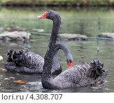 Два чёрных лебедя на озере. Стоковое фото, фотограф Роман Сулла / Фотобанк Лори
