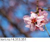 Цвет миндального дерева. Стоковое фото, фотограф Елена Есаян / Фотобанк Лори