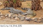 Крокодилы в неволе. Стоковое фото, фотограф Наталья Гуреева / Фотобанк Лори