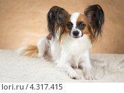 Купить «Собака породы папильон», фото № 4317415, снято 21 февраля 2013 г. (c) Сергей Лаврентьев / Фотобанк Лори