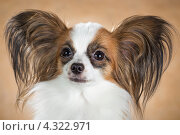 Купить «Собака породы папильон», фото № 4322971, снято 21 февраля 2013 г. (c) Сергей Лаврентьев / Фотобанк Лори