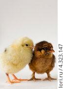 Цыплята. Стоковое фото, фотограф Нестеров Александр Владимирович / Фотобанк Лори
