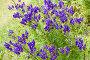 Кустик цветущего борца, эксклюзивное фото № 4325047, снято 14 августа 2007 г. (c) Солодовникова Елена / Фотобанк Лори