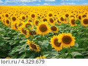 Купить «Поле подсолнухов», фото № 4329679, снято 6 августа 2012 г. (c) Gagara / Фотобанк Лори