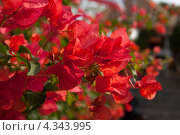 Купить «Цветы. Бугенвиллея красная», фото № 4343995, снято 25 декабря 2011 г. (c) Ирина Геращенко / Фотобанк Лори