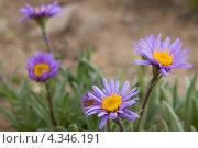 Альпийская астра (фиолетовые ромашки) Стоковое фото, фотограф Виталий Верхозин / Фотобанк Лори