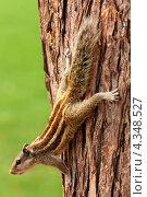 Купить «Бурундук на дереве», фото № 4348527, снято 16 ноября 2012 г. (c) Михаил Коханчиков / Фотобанк Лори