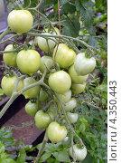 Купить «Гроздь помидоров сорта Мондиаль на ветке», фото № 4350443, снято 5 августа 2012 г. (c) Юлия Батурина / Фотобанк Лори