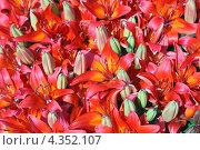 Купить «Много красных и оранжевых лилий цветет ковром», фото № 4352107, снято 24 апреля 2011 г. (c) Ольга Липунова / Фотобанк Лори
