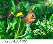 Купить «Белка грызет орешек», фото № 4354951, снято 17 мая 2012 г. (c) Алёшина Оксана / Фотобанк Лори
