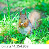 Купить «Белка грызет орешек», фото № 4354959, снято 17 мая 2012 г. (c) Алёшина Оксана / Фотобанк Лори