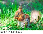 Купить «Белка грызет орешек», фото № 4354975, снято 17 мая 2012 г. (c) Алёшина Оксана / Фотобанк Лори
