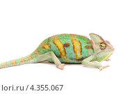Йеменский хамелеон. Стоковое фото, фотограф Павел Байшев / Фотобанк Лори