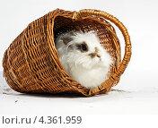 Кролик в корзине. Стоковое фото, фотограф CHERKAUSKAS VIKTOR / Фотобанк Лори