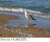 Чайка на прогулке. Стоковое фото, фотограф Максим Марков / Фотобанк Лори