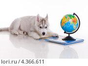 Купить «Щенок хаски с глобусом и книгой», фото № 4366611, снято 19 января 2011 г. (c) Наталья Сдобникова / Фотобанк Лори