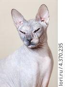 Купить «Портрет лысой кошки - донской сфинкс», фото № 4370235, снято 17 февраля 2013 г. (c) Кекяляйнен Андрей / Фотобанк Лори