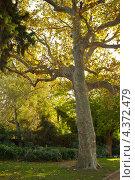 Старое дерево в парке. Стоковое фото, фотограф Andrejs Pidjass / Фотобанк Лори