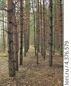Купить «Сосновый лес, посаженный людьми», фото № 4376579, снято 1 мая 2011 г. (c) Самойлова Екатерина / Фотобанк Лори