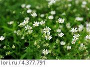 Купить «Текстура - маленькие беленькие цветочки в зеленой траве», фото № 4377791, снято 1 июня 2009 г. (c) Андрияшкин Александр / Фотобанк Лори