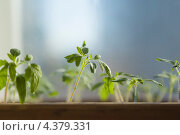 Купить «Рассада помидора. Малая глубина резкости.», фото № 4379331, снято 8 марта 2013 г. (c) Gagara / Фотобанк Лори