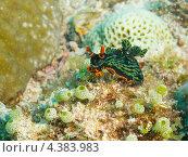 Купить «Голожаберник Немброта кубараяна (Nembrotha kubaryana, Variable neon slug) ползет по кораллу», фото № 4383983, снято 10 мая 2012 г. (c) Сергей Дубров / Фотобанк Лори
