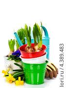 Купить «Весенние луковичные цветы в горшочках и садовые инструменты», фото № 4389483, снято 11 февраля 2013 г. (c) Наталия Кленова / Фотобанк Лори