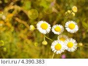 Ромашки. Стоковое фото, фотограф Ксения Александрова / Фотобанк Лори