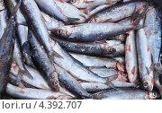 Купить «Байкальский омуль. Зимний улов (лат. Coregonus migratorius)», фото № 4392707, снято 10 марта 2013 г. (c) Виктория Катьянова / Фотобанк Лори