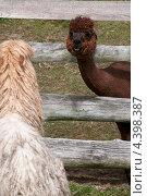 Две ламы смотрят друг на друга. Стоковое фото, фотограф Яна Шпакова / Фотобанк Лори