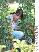 Купить «Девушка собирает томаты», фото № 4401799, снято 27 июля 2010 г. (c) Phovoir Images / Фотобанк Лори