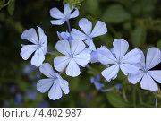 Фиолетовые нежные цветки. Стоковое фото, фотограф Дарья Фролова / Фотобанк Лори