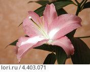 Розовая лилия. Стоковое фото, фотограф Андрей Константинов / Фотобанк Лори