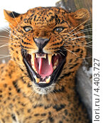 Купить «Рычащий леопард», фото № 4403727, снято 8 января 2013 г. (c) Эдуард Кислинский / Фотобанк Лори