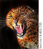Купить «Рычащий леопард на черном фоне», фото № 4403735, снято 8 января 2013 г. (c) Эдуард Кислинский / Фотобанк Лори