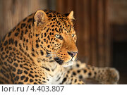 Купить «Портрет леопарда», фото № 4403807, снято 8 января 2013 г. (c) Эдуард Кислинский / Фотобанк Лори