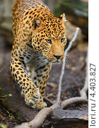 Купить «Леопард», фото № 4403827, снято 30 сентября 2012 г. (c) Эдуард Кислинский / Фотобанк Лори