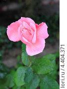 Купить «Цветок розы в каплях дождя», фото № 4404371, снято 14 сентября 2012 г. (c) Татьяна Грин / Фотобанк Лори