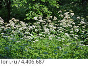 """Купить «Травянистое растение """"Болиголов"""" (лат. Conium)», эксклюзивное фото № 4406687, снято 20 июня 2011 г. (c) lana1501 / Фотобанк Лори"""